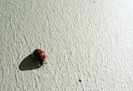 Ladybug on the patio of my Vancouver apartment.